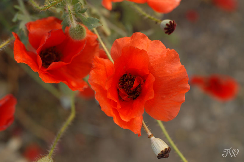 remembrance-day-lest-we-forget