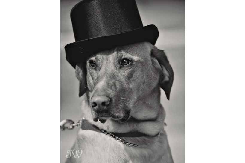 dog in a tophat dogs at weddings